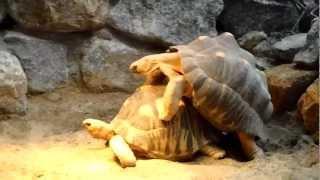 Free German Tortoise Porn (Munich Zoo)