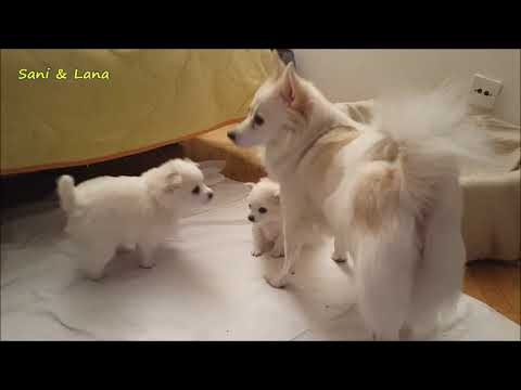 ONE DAY WITH (Klein) GERMAN SPITZ FAMILY!