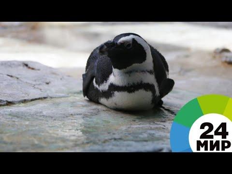 Вопрос: Как выглядят африканские пингвины, особенности?