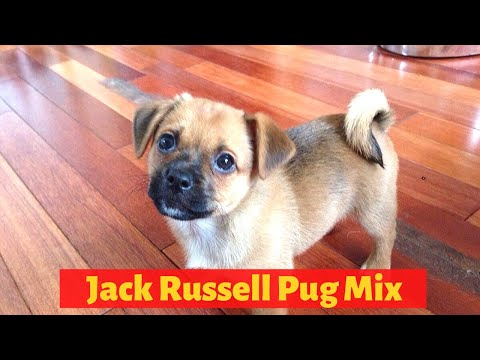 Interesting Facts about the Jack Russell Pug Mix (Jug)  Should you get one for you?