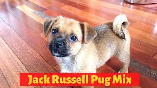 Interesting Facts about the Jack Russell Pug Mix (Jug)| Should you get one for you?