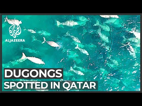 Dugong Discovery: Large Population Found Off Qatar