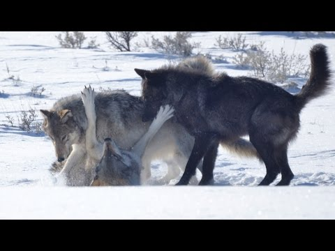 Yellowstone's Druid Wolf Pack and Super Wolf 21?