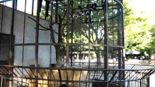 姫路市立動物園にいるサルです。突然騒ぎ出しました(笑) (2009年...