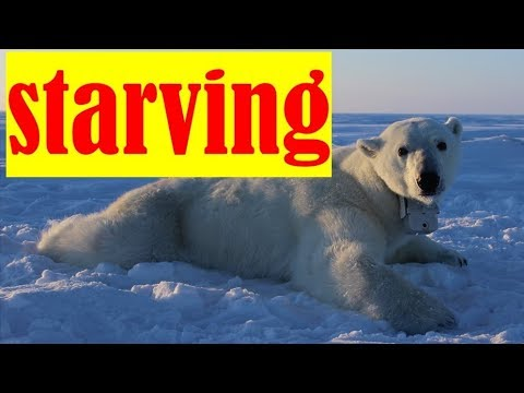 Polar Bears STARVING Due to Global Warming | POV Cams USGS