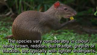 Learn about agouti | what is agouti