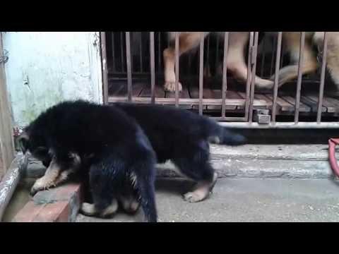 Chó bec gie thuần chủng của trại chó Trần Gia 0904997476