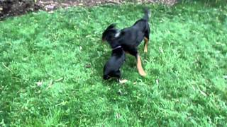 Rottweiler Lab Mix Diesel - Ruby Little Dog - Playing In Yard
