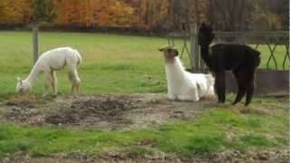 Best Kept Secret: A Visit to the Llama Farm