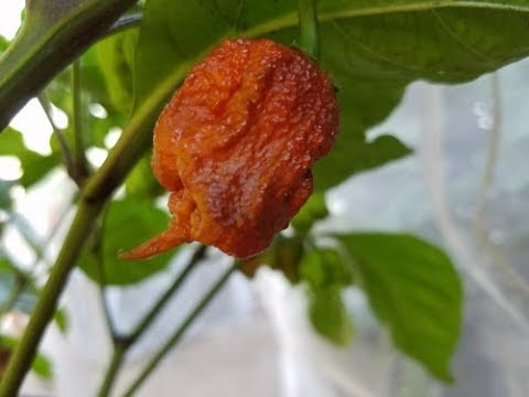 Chocolate Reaper Chilli Review Refining Fire Chiles