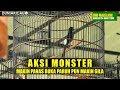 Bnr Magelang Bersatu Aksi Murai Batu Monster Makin Panas Buka Paruh Pun Makin Gila  Mp3 - Mp4 Download