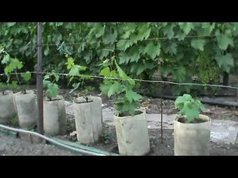 Выращивание саженцев винограда в контейнерах: основные преимущества www.vinograd-kriulya.com