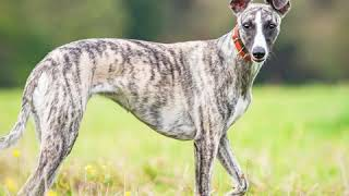 Whippet  Dog Breed  Pet Friend