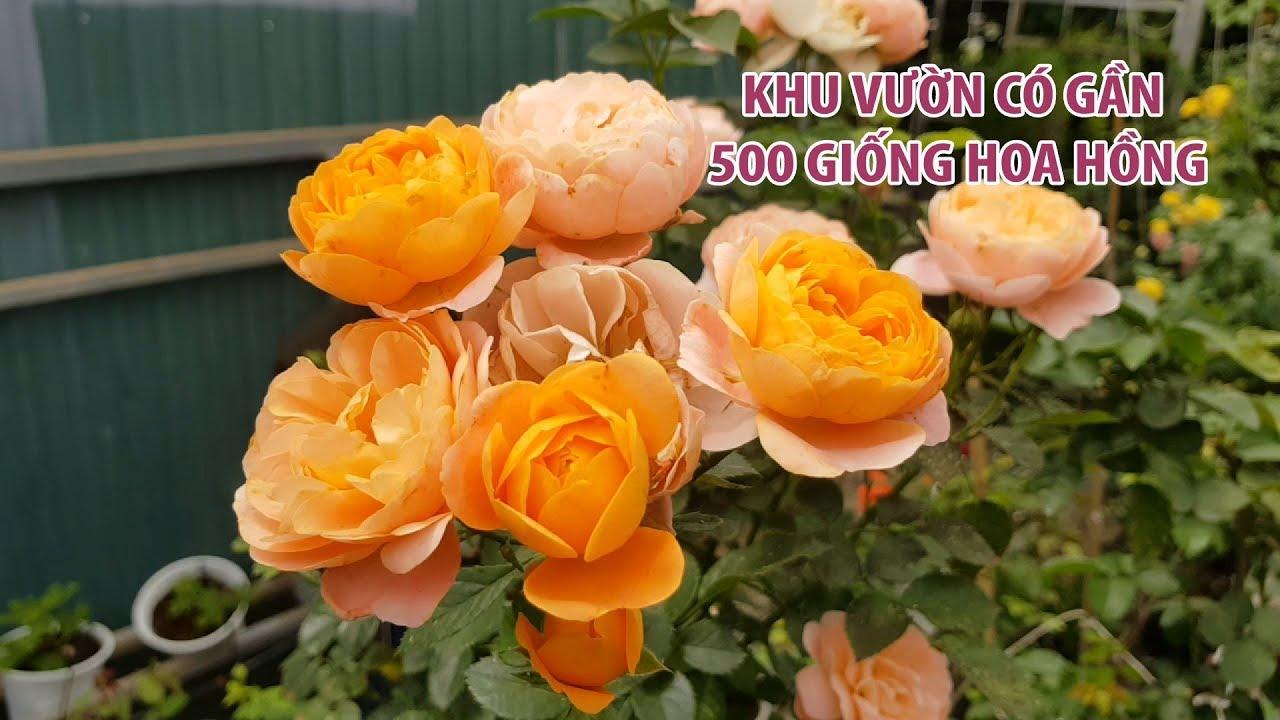 Khu vườn kỳ thú ở Đà Lạt có gần 500 giống hoa hồng