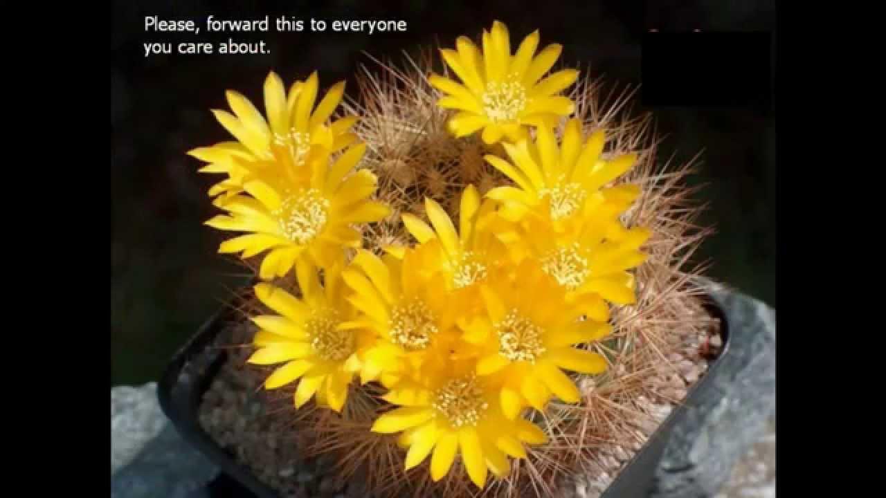 Beautiful Cactus Flowers Full Hd 1080p Youtube
