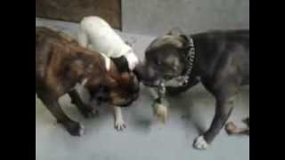 Tug Of War With Three Bullies!
