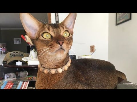 Lovely Abyssinian Cat Want To Go Out : Please! Daddy!!