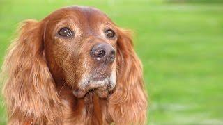 Порода собак. Коккер спаниель. Трудяга и любящая собака.Самый маленький из спаниелей