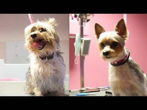 Yorkshire Terrier Grooming Video Funnydog Tv