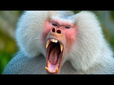 Как бабуины умудряются наводить страх на львов и людей в Африке!