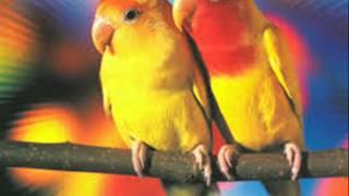 Love birds mein Male aur Female ki pehchan Dr Ashraf Sahibzada