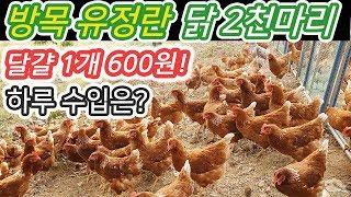 귀농 방목 유정란 닭 2천마리 운영 수익공개-귀농귀촌 정보