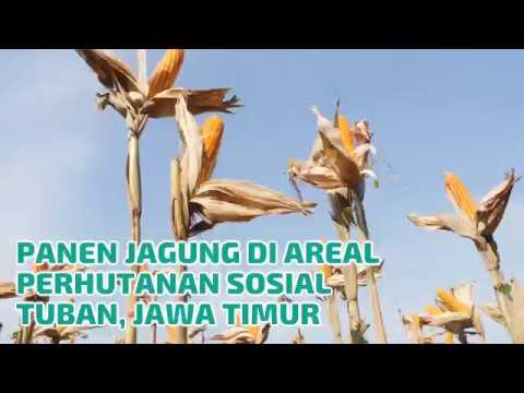 Panen Raya Petani Tuban, Berkah Hutan Sosial