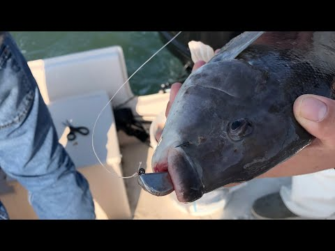 Awesome Tog ( Tautog ) Fishing In New Jersey