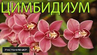 Орхидея Цимбидиум уход в домашних условиях / как ухаживать за орхидеей?