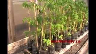 видео томат помидор форум