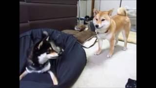 クッション大好き柴犬りょう1歳(黒)。 突っ込んだり、ホリホリしたり...