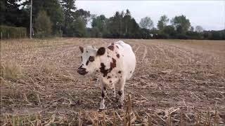 tri des vaches avec Cyrielle