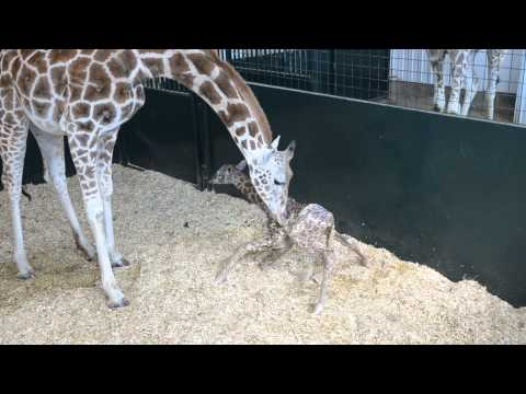 Baby Giraffe VIDEO: Rare Female Calf Stands Up For The First Time