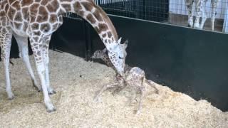 Baby Giraffe First Time Standing