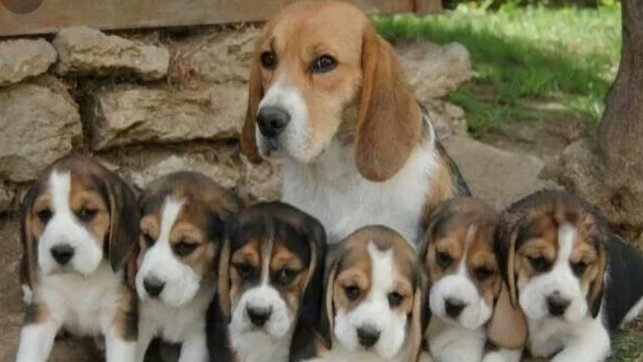 My Home Breeding Beagle Puppies For Sale Delhi And India 9711696640 Youtube
