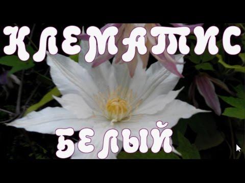 клематис с белыми цветами фото