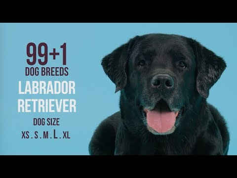 Labrador Retriever / 99+1 Dog Breeds