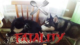 Как Хаски живет с кошками