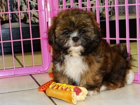 Lhasa Apso Puppies Dogs For Sale In Mesa Arizona Az