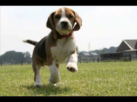 beagle dog puppies information video animal videos youtube. Black Bedroom Furniture Sets. Home Design Ideas