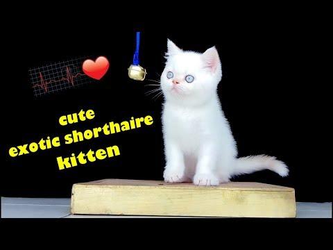 white exotic shorthair baby kitten