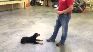 "Rottweiler Male Puppy ""zeus"" Obedience Trained Home Raised For Sale"