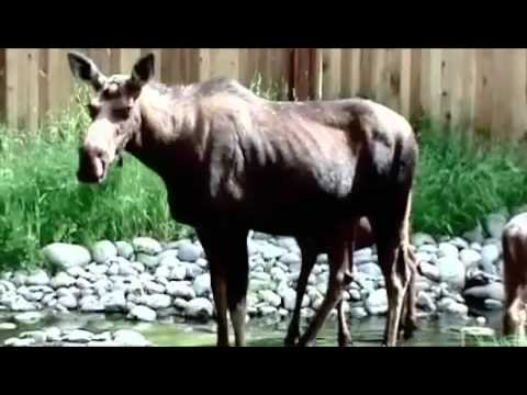 moose attacks A couple of colorado women were recuperating after a moose attack northwest of denver over the weekend.