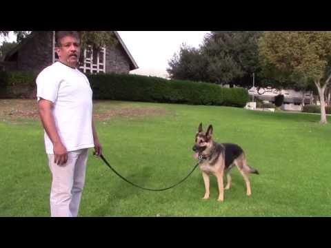 sirius-k9-academy-basic-obedience-test-demonstration---walk-around