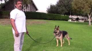 Sirius K9 Academy Basic Obedience Test Demonstration - Walk Around