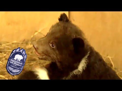 Рождённые быть свободными. Медвежья школа. Серия 2