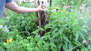 Releasing Ladybugs into a Garden: Building a Stick Habitat, Wetting Plants &  Where to Get Them!