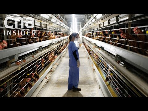 Inside Singapore's Largest Egg Farm