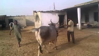 DUA CATTLE - Grey Cow With Horns