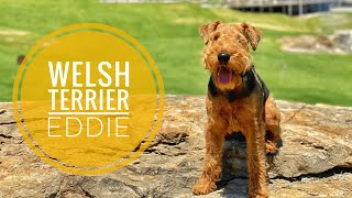 Eddie the WelshTerrier